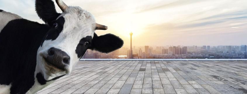 Hier würden Sie das Bild einer Kuh vor Stadtkulisse sehen.